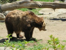 Bear in the Bronx Zoo - New York City