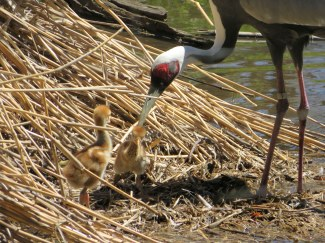 Baby cranes in the Bronx Zoo - New York City