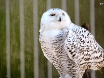 Snowy owl in the Bronx Zoo - New York City