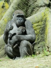 Baby gorilla in the Bronx Zoo Congo exhibit - New York City